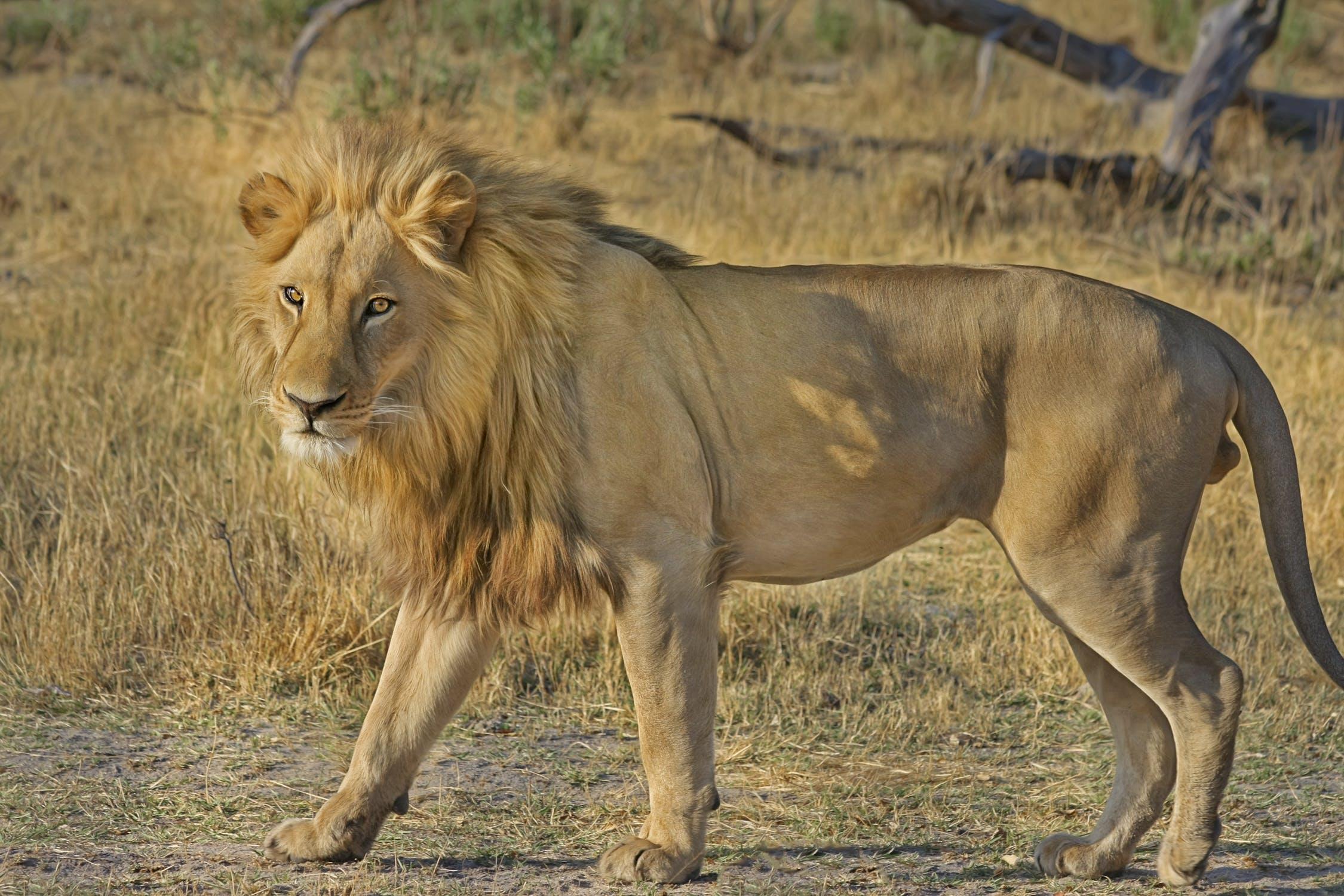Leão sozinho que é possível observar por meio de um passeio de safári em sua viagem para a África do Sul