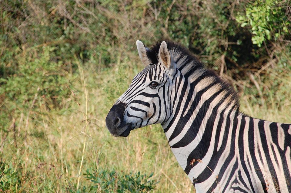 Zebra em um sáfari, passeio indispensável para a sua viagem para a África do Sul